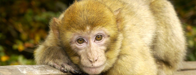 macaques de barbarie à la forêt des singes
